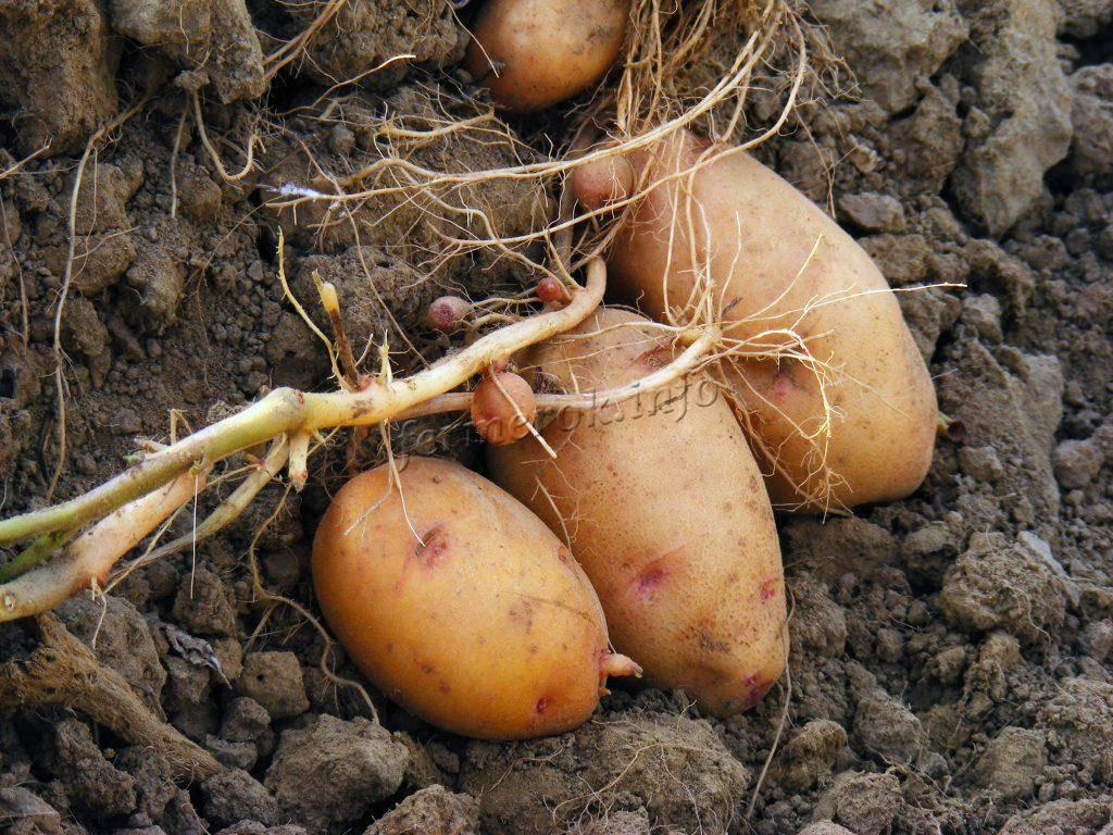 Обзор картофеля сорта «ермак»