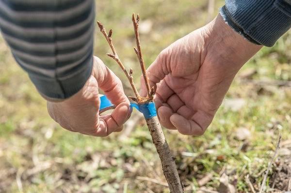 Выращивание боярышника из семян в домашних условия — посадка и уход