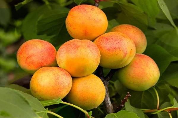 Описание сорта абрикосов водолей, характеристики плодоношения и устойчивость к заболеваниям