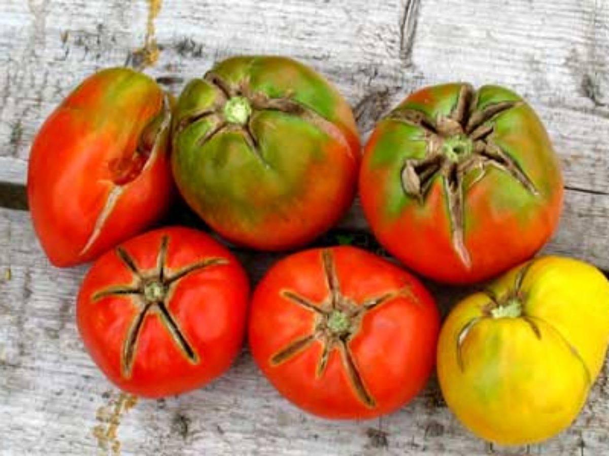 Насекомые-вредители помидоров и борьба с ними