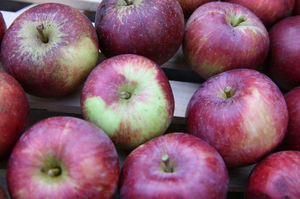 Канадский сорт яблок с огромными преимуществами — спартан