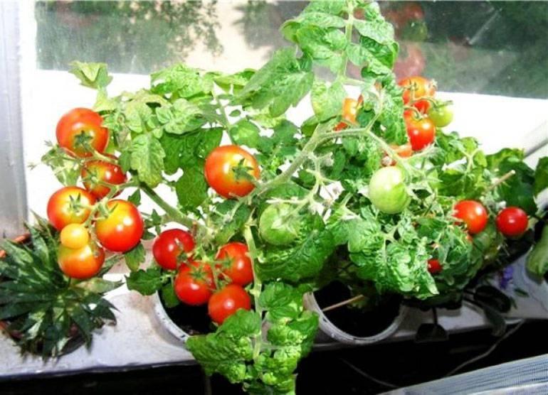 """Балконные помидоры - """"балконное чудо"""", описание комнатного сорта томатов с фото"""