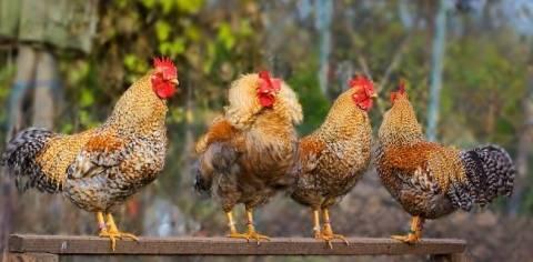 Билефельдер: описание породы кур, ее характеристики и фото цыплят и петухов, особенности выращивания