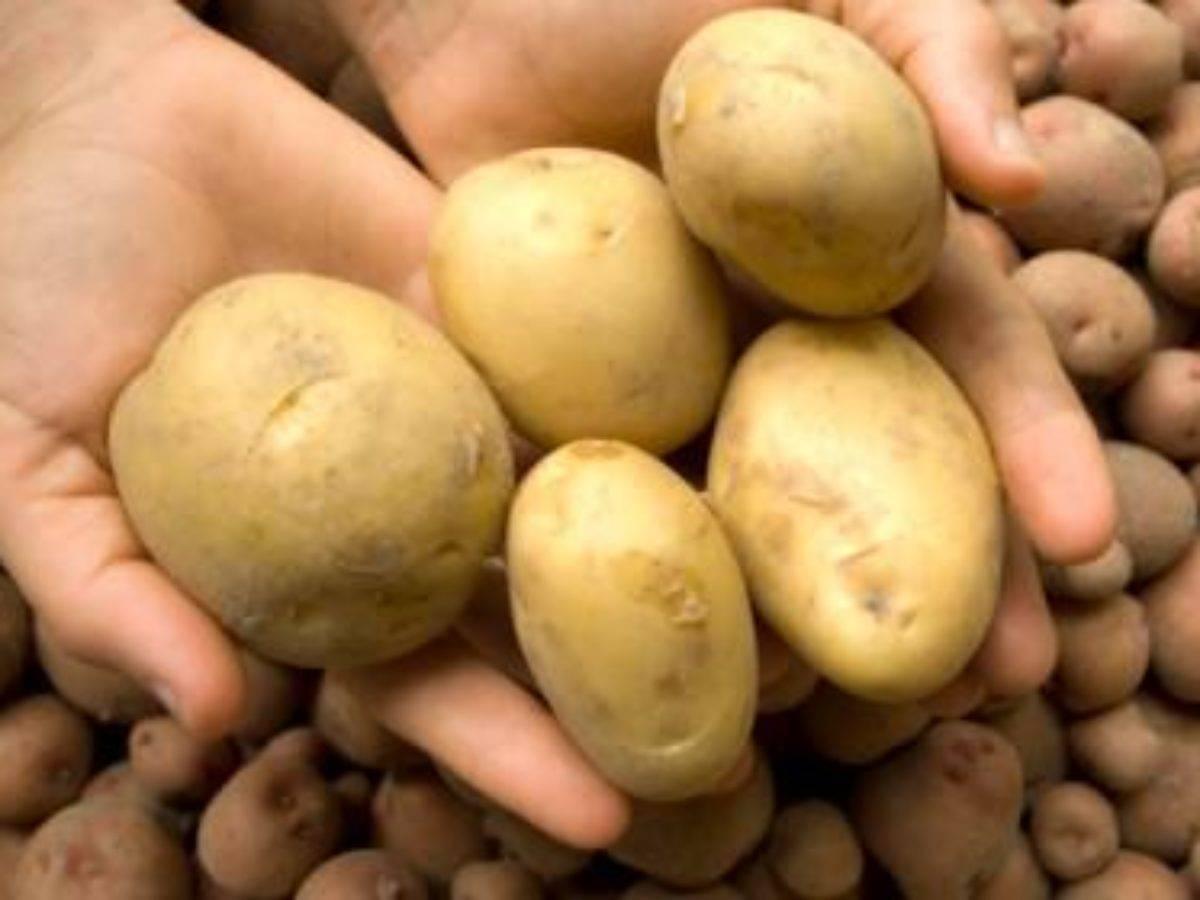 Описание сорта картофеля джувел