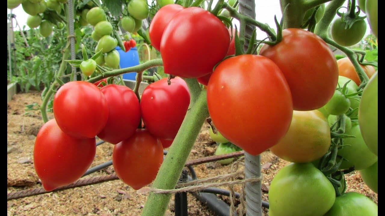 Томат буденовка характеристика и описание сорта. характеристики сорта томата буденовка