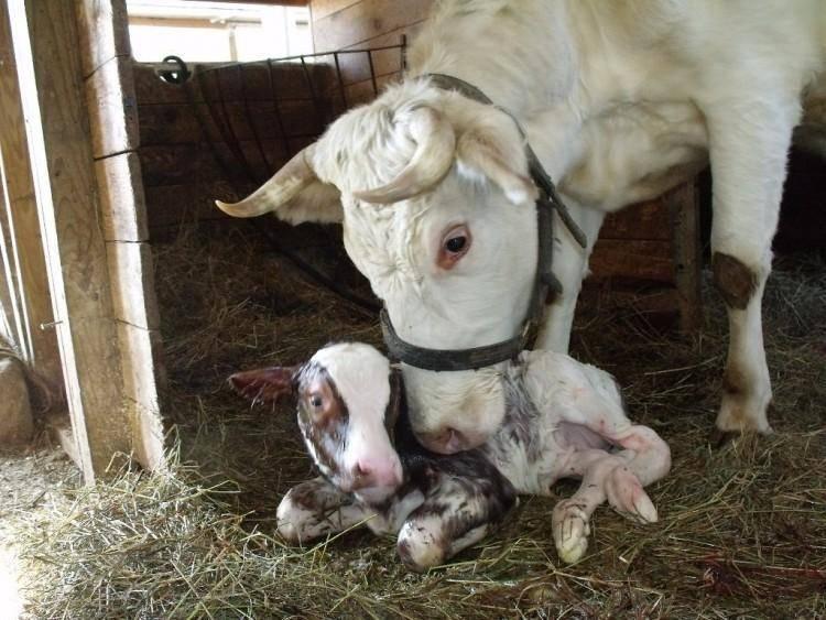 Послеродовой (родильный) парез у коров: профилактика и лечение после отела, признаки пореза, оказания помощи и симптомы у нетели — moloko-chr.ru