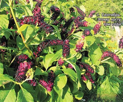 Лаконос лечебные свойства ягоды рецепты