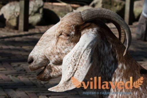Сложности разведения англо-нубийских коз. и почему стоит рискнуть?