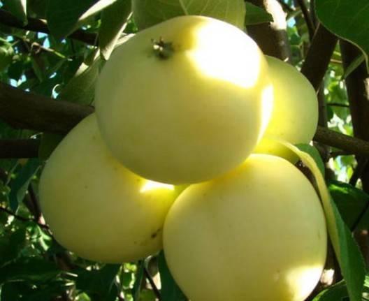 Описание и выращивание яблони сорта белый налив