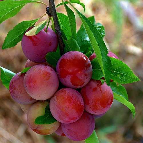 Алыча 'июльская роза' — википедия. что такое алыча 'июльская роза'