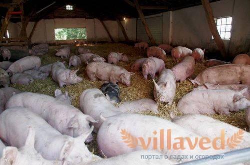 Преимущества и недостатки свиноводства как бизнес, прибыль с разведения и продажи