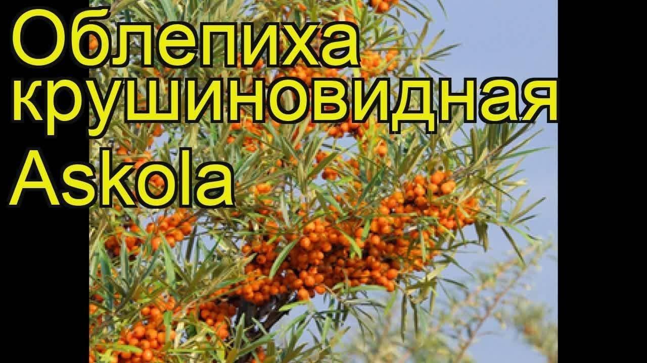 Облепиха крушиновидная — википедия с видео // wiki 2