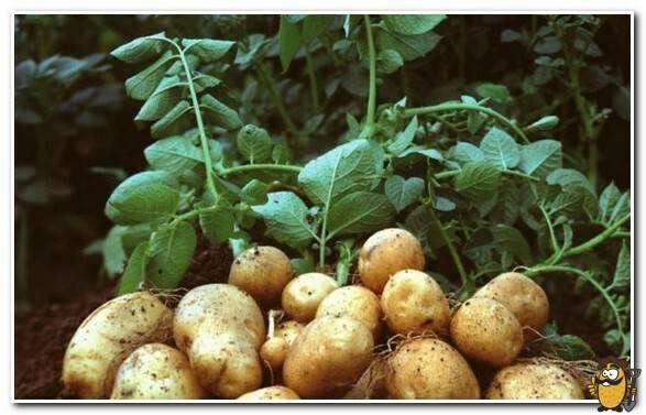 Картофель сорт янка: описание и характеристика, отзывы