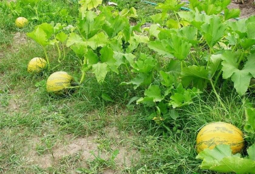 Тыква улыбка и грибовская: кустовые сорта с описанием и фото