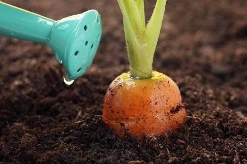 Клубника мармелада: фото и отзывы садоводов, правила посадки и ухода за сортом