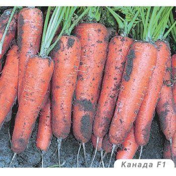 Популярный сорт моркови канада – нюансы его посадки и ухода