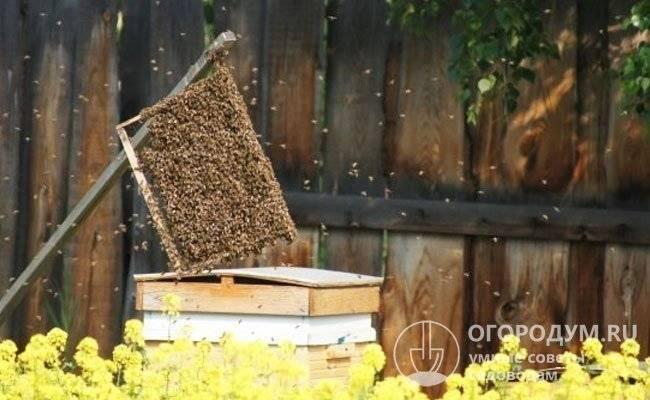 Все особенности роения пчел: от значения в жизни до методов борьбы с ними