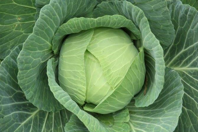 Капуста краутман: описание сорта, характеристика, особенности выращивания