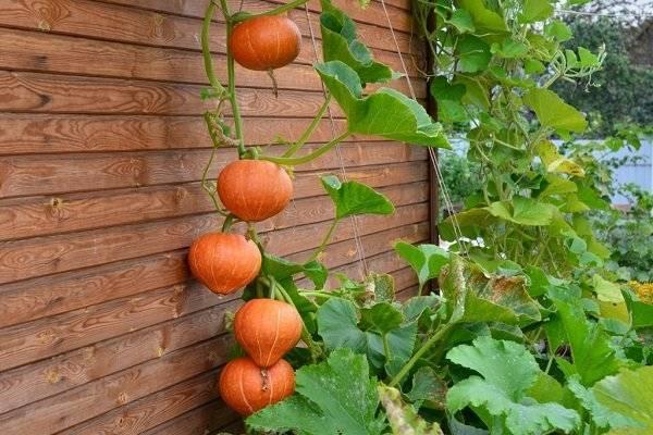 Тыква Россиянка: выращивание и уход