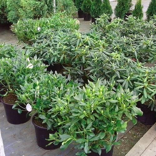 Посадка и уход за рододендроном в сибири (фото) доступны практически всем