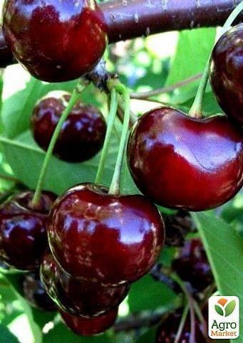 Вишня богатырка — описание сорта, фото, отзывы садоводов