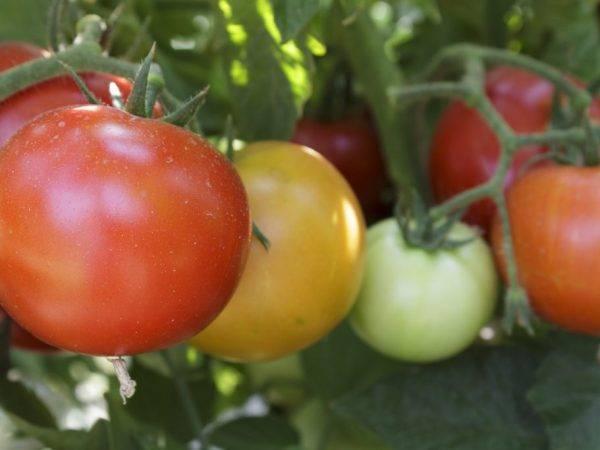 Лучшие сладкие розовые сорта томатов — фото, описание, отзывы