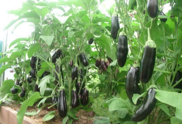 Топ-20 сортов баклажанов для выращивания в подмосковье