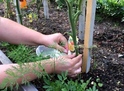 Эффективность применения медной проволоки от фитофторы на помидорах и методы ее использования