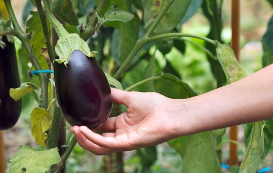 Когда и как сажать баклажаны рассадой в открытый грунт