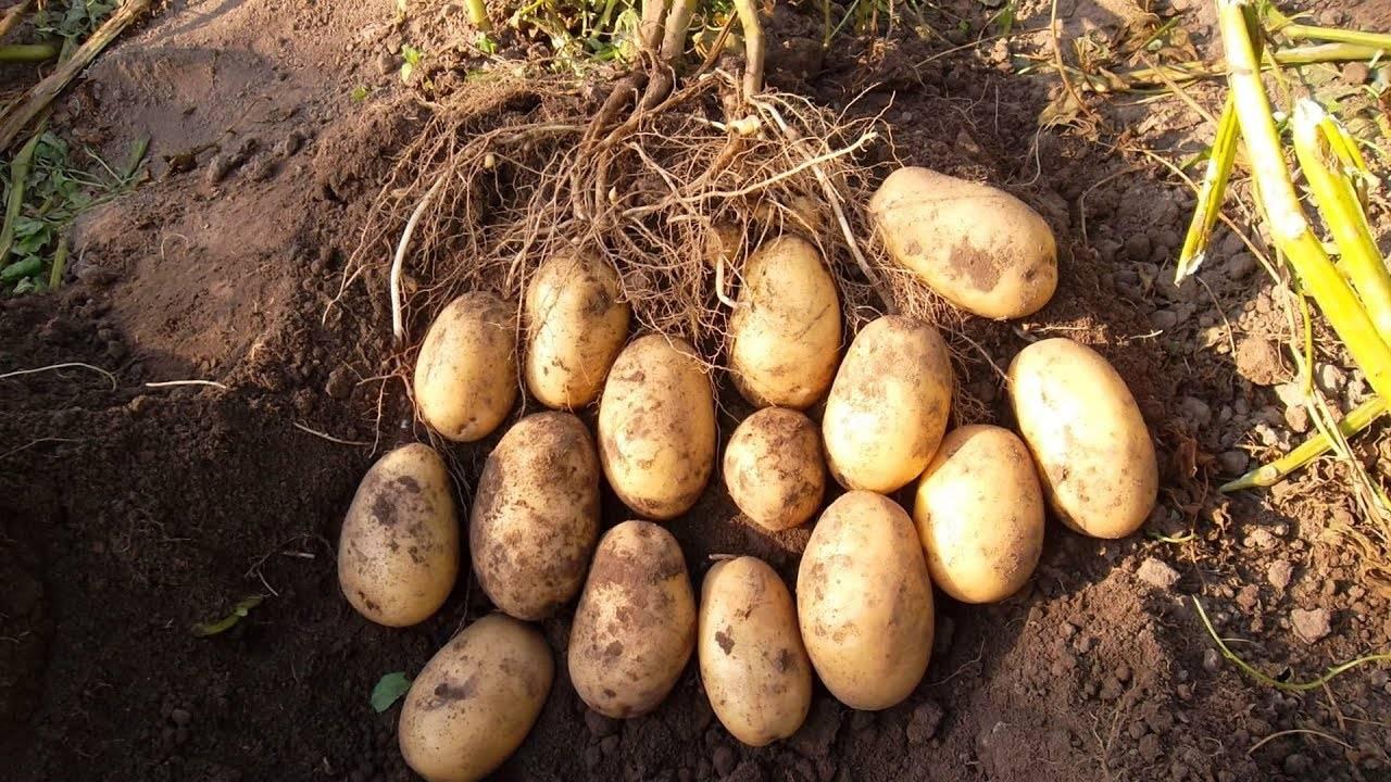 Сорт картофеля гулливер: описание и характеристика, отзывы