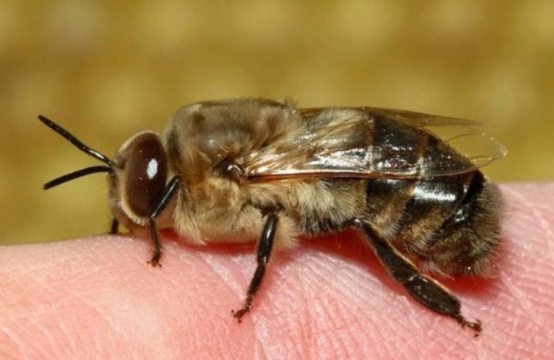 Пчелиная семья: состав и функции