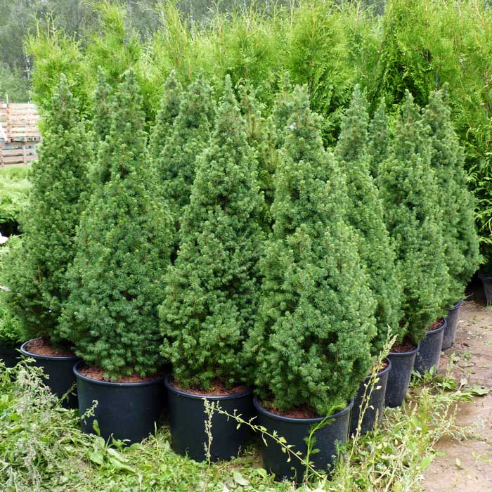 Карликовые сосны: лучшие сорта и советы по выращиванию