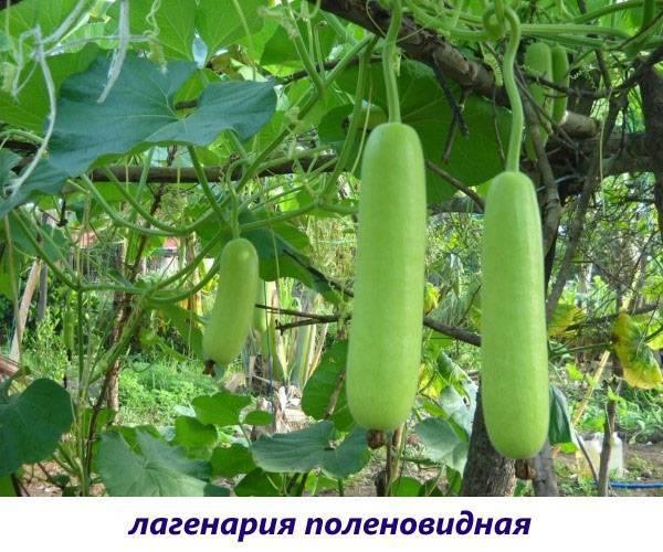 Бутылочная тыква (лагенария): описание, фото, сорта, как выглядит, выращивание