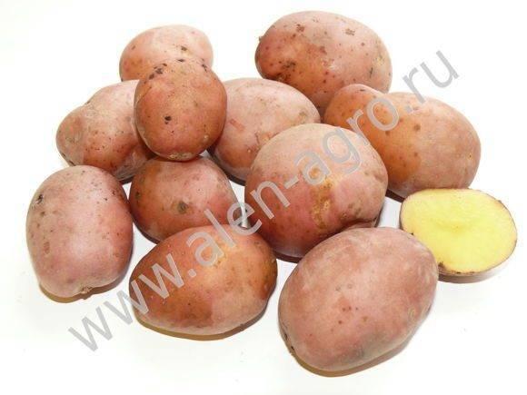 Сорт картофеля ароза: описание, посадка и уход