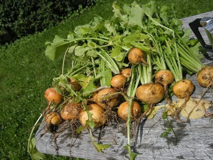 Посадка репы в открытый грунт, теплицу и домашних условиях семенами: когда проводить посев, а также после чего можно размещать в землю и какой уход нужен?