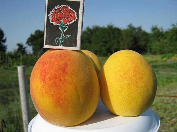 Сорт персика золотой юбилей: фото и описание