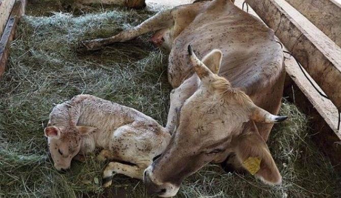 Лактация у коров: что это такое и всегда ли корова дает молоко? сколько дней длится период лактации? фазы лактации и лактационная кривая