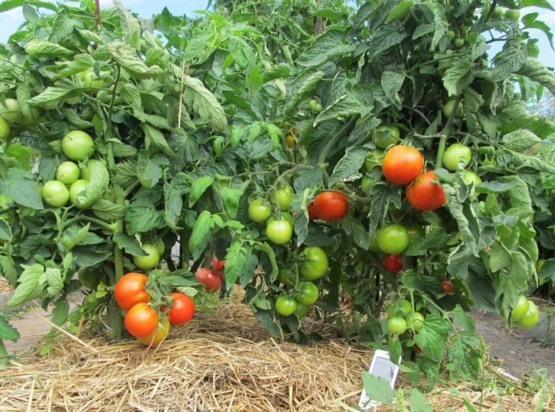 Сорт помидор большая мамочка: описание и урожайность томатов