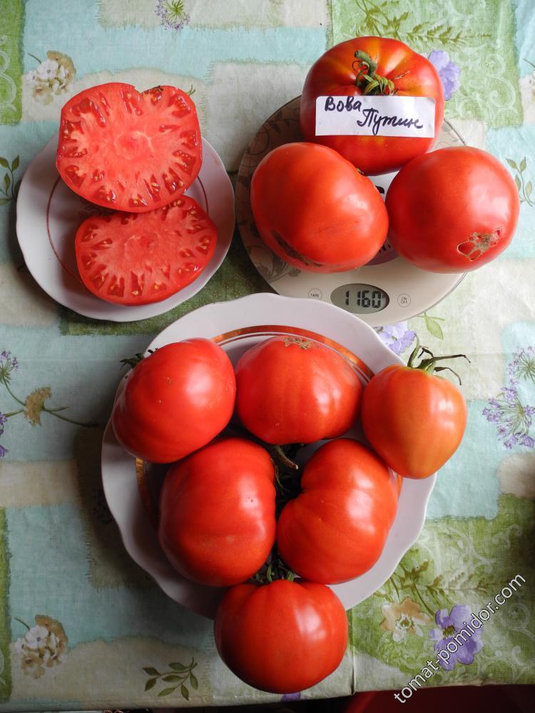 Описание томата вова путин, характеристика плода и особенности выращивания