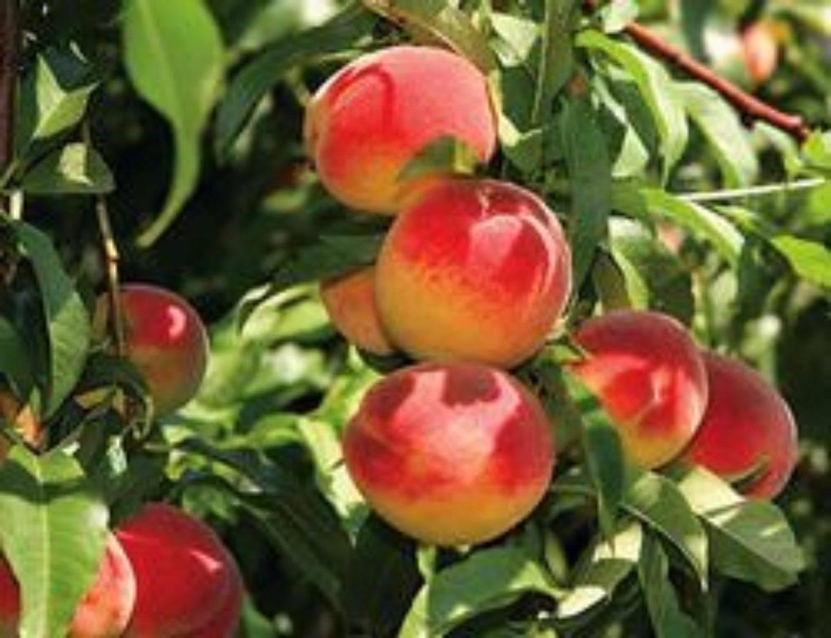 Персик сорта редхейвен: рекордсмен для любительского сада
