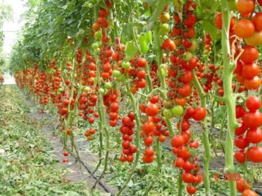 Характеристики и описание сорта томата денежный мешок, его урожайность