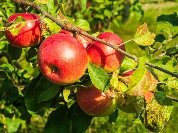 Морозостойкая яблоня осенняя радость: описание, фото