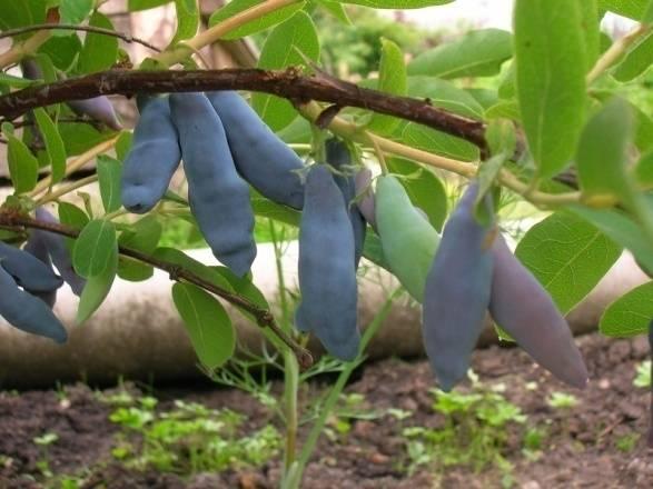 Жимолость съедобная авача: особенности выращивания сорта