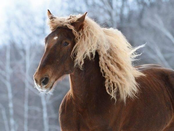 Лошадь тяжеловоз русский: характеристика, особенности содержания в домашних условиях