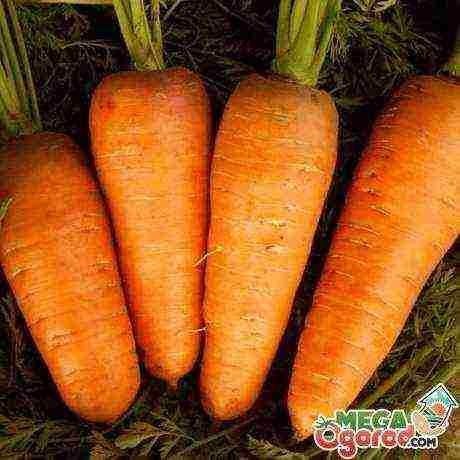 Сорта моркови для сибири в открытый грунт
