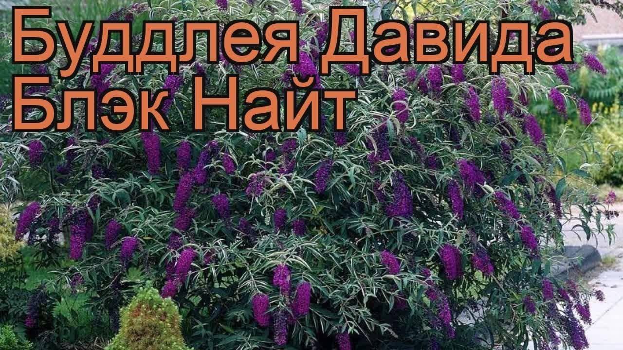Буддлея давида: 90 фото растения и советы по применению в ландшафтном дизайне