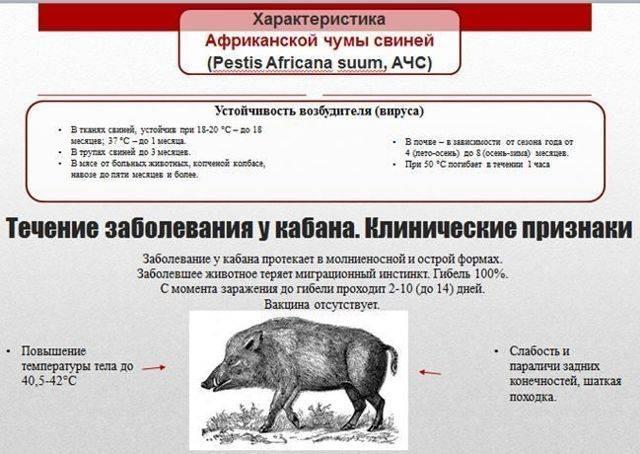 Африканская чума свиней — признаки заболевания