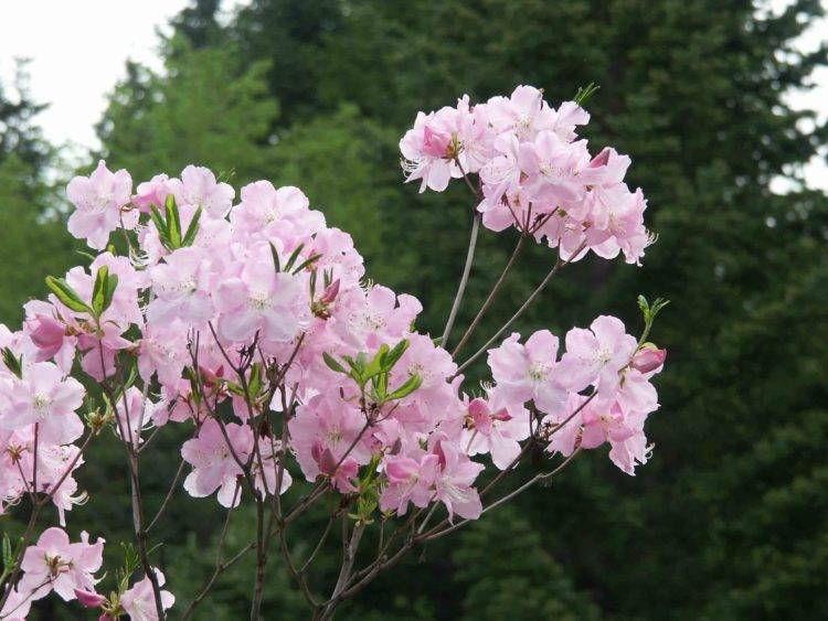 Необыкновенная пышность цветения рододендрона шлиппенбаха: фото и выращивание из семян