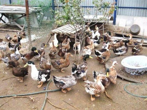 Башкирская утка: достоинства, характеристика, разведение в домашних условиях