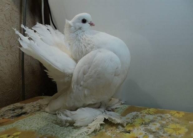 Породы почтовых голубей с фотографиями, названиями и видео